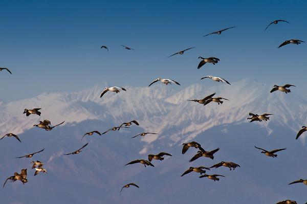 3 Snow Geese