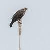Red-winged Blackbird female (Agelaius phoeniceus}
