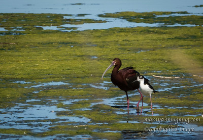 White-faced Ibis and Black-necked Stilt