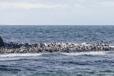 Seabirds at Isla Marta - Chile