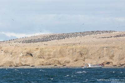 Seabirds nesting on Isla Marta - Chile