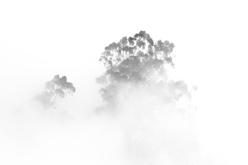 Trees in the Fog - High Key Monochrome