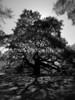 Angel Tree on Johns Island, SC.