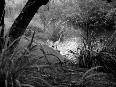 Egret by the golf course creek MCL