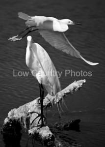 Two_Egrets_5X7-1