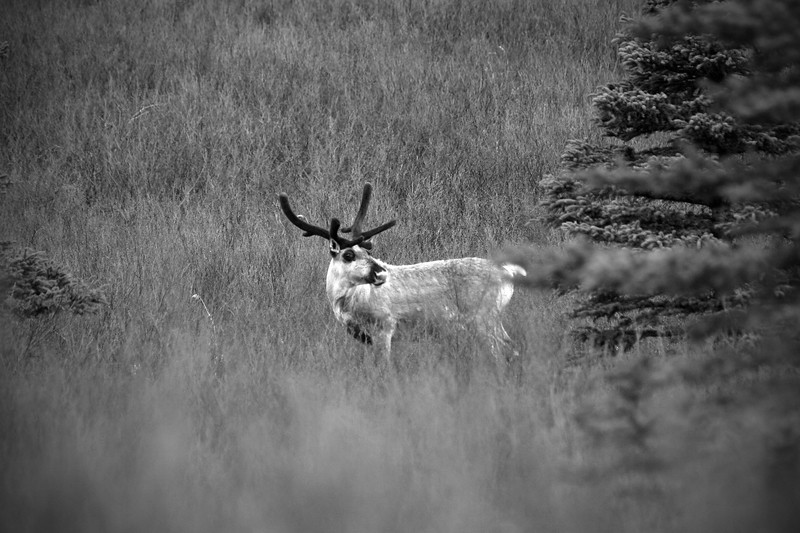 Reindeer in Alaska - Denali National Park