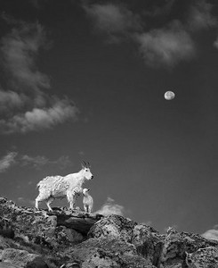 Baby Goat Moon Mt. Evans Colorado