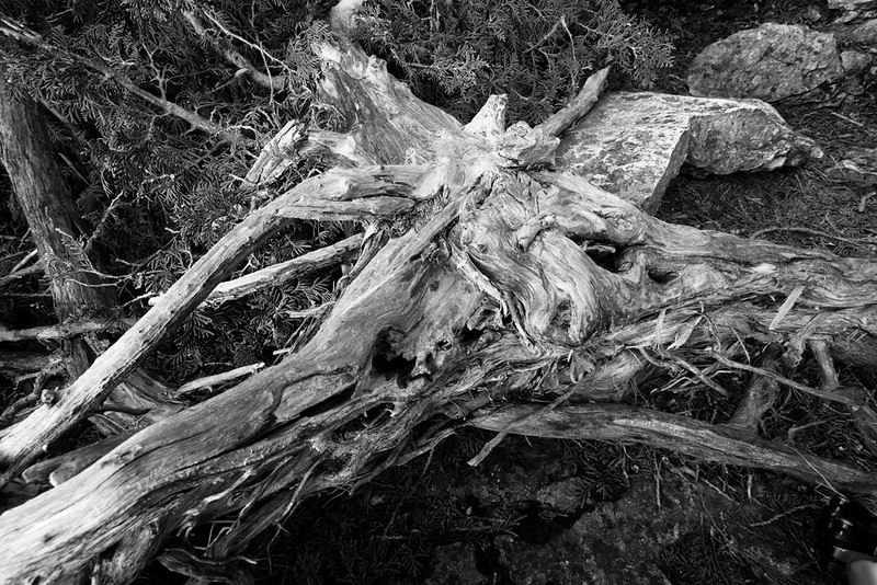 Cypress, Bruce Peninsula National Park