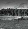 Pine Columns.<br /> Skov på Langebjerg set fra Stenstrupvej, Denmark.