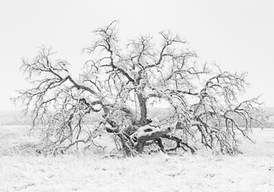 Winter Oak. Snow blankets an oak skeleton in Parker Canyon near Sonoita, Arizona