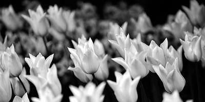 Tulips - Skagit Valley, Washington