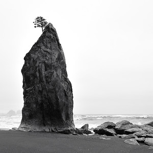 Sitka Spruce Tree on Sea Stack - La Push, Washington