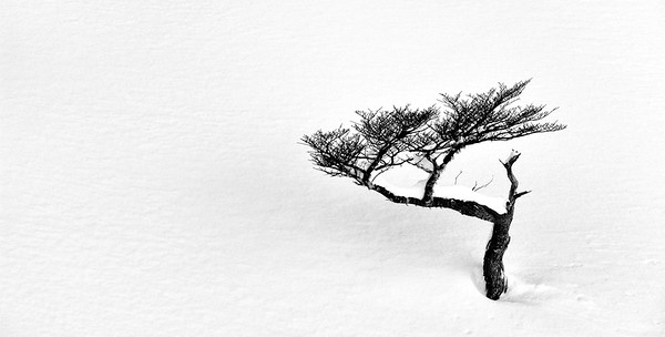 Tree in Snow - Ushuaia, Argentina