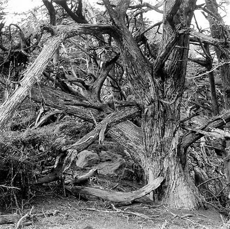 Cypress, Point Lobos State Reserve, Carmel, California
