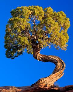 cp94:  Beautiful twisted juniper, southern Utah
