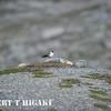 Long-tailed skua( Stercorarius Longicaudus )