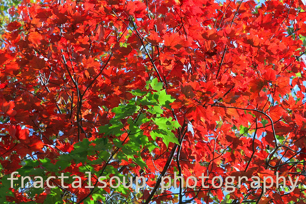 Bright Red Leaves form a Colorful background to vibrant Green Foliage