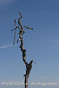 Lone dead tree stands in stark contrast to blue sky
