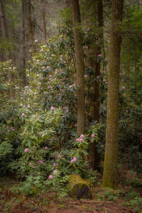 Rhododendron, Linville Falls Trail