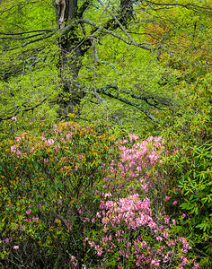 Pink Azalea at Black Rock Hill View ~ Blue Ridge Parkway