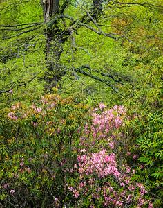 Pink Azalea at Black Rock Hill View ~ Blue Ridge Parkway ~ May 2011