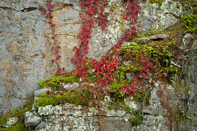 Red Vines on Rock Face ~ Blue Ridge Parkway