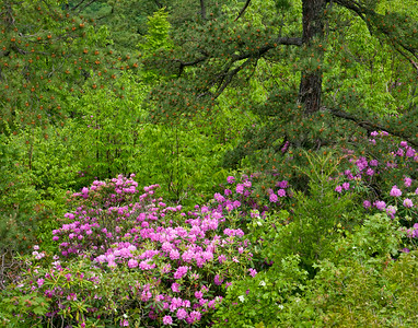 Rhododendrum and Pine at Taylor Mountain View ~ Blue Ridge Parkway