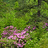 Rhododendrum and Pine at Taylor Mountain View ~ Blue Ridge Parkway ~ May 2011