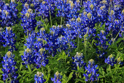 Closer look at Bluebonnets.