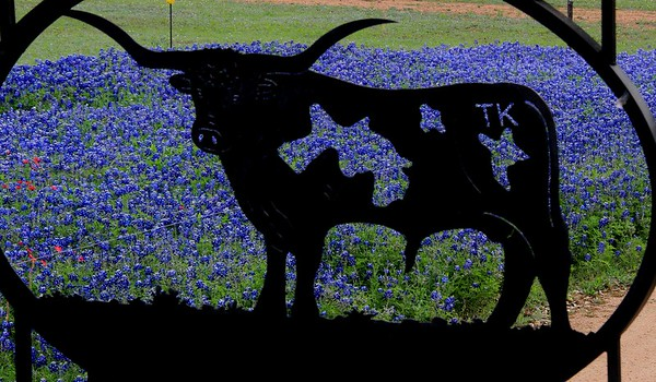 Bluebonnets in the Texas Hill Country, 2016