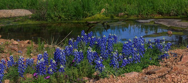 azBluebonnets, April 7, 2016 115A, Willow City Loop near Fredericksburg, Tx -115