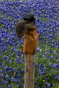 azBluebonnets, April 7, 2016 049A, Texas fence cap-049