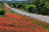 Indian Paintbrushes did more than compete with the Bluebonnets-they won a few scenes .