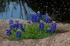A hostile environment did not stop these Bluebonnets from celebrating spring.
