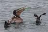 PelicanLunch1605