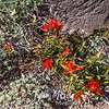 108  G Indian Paintbrush