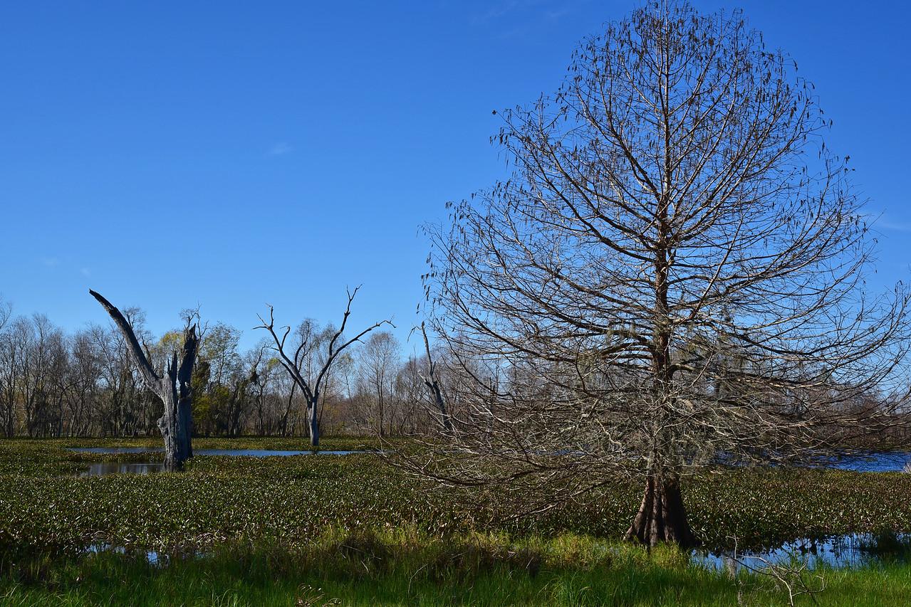 Elm Lake - Naked Cypress