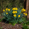 Daffodils in Castle Gardens