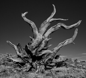 Bristlecone Pine Roots