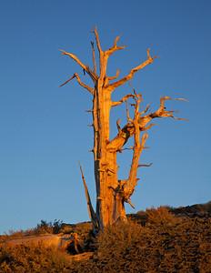 Bristlecone Pine, past its prime.