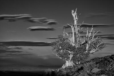 Bristlecone Pine Sunset B&W