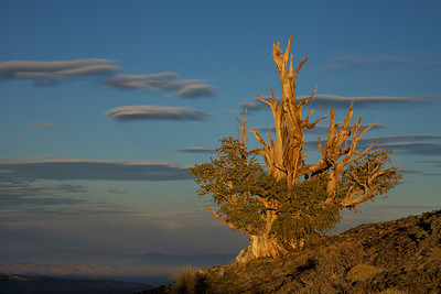 Bristlecone Pine at Sunset