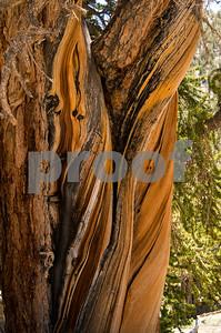Bristlecone Pine Trunk-1