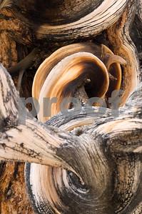 Bristlecone Pine Trunk-4