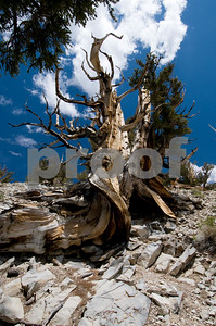 Very Old Bristlecone Pine