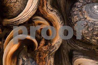 Bristlecone Pine Trunk-3