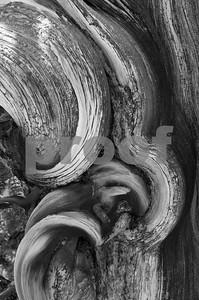 Bristlecone Pine Trunk-2