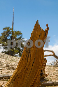 Lonely Bristlecone Pine