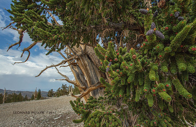 Lush growth on very old bristlecone - 2013