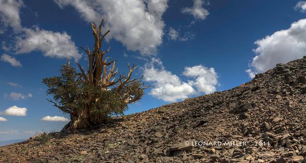 Bristlecone Pine - 2011